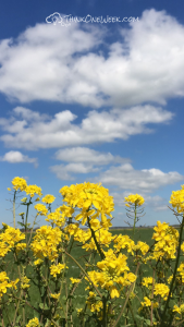 Free Phone Wallpaper - Rapeseed